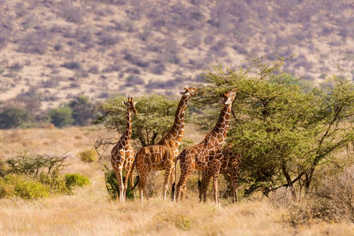 Group of giraffes eating from acacia trees