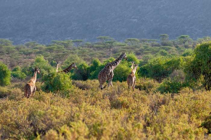 Reticulated giraffe family in its natural habitat