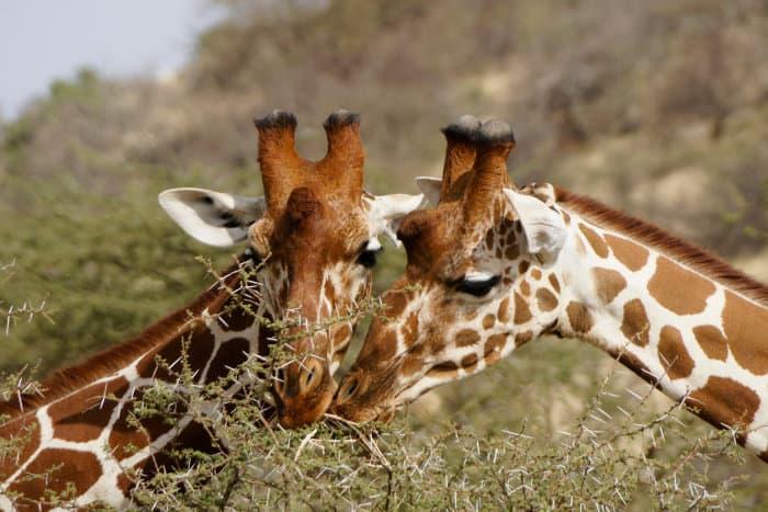 Reticulated giraffe feeding on thorny acacia leaves