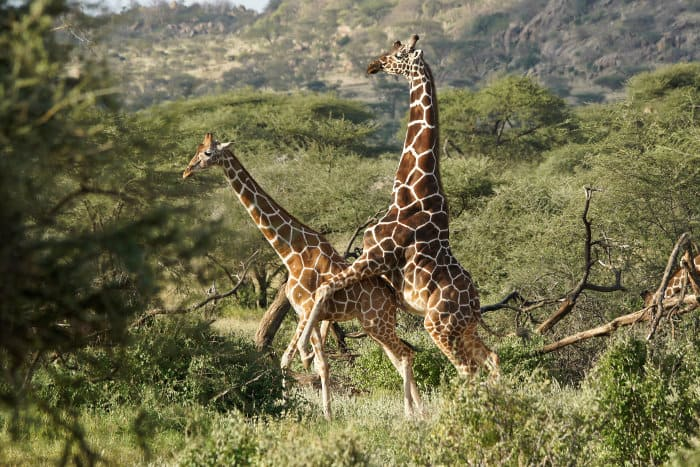 Reticulated giraffe mating ritual