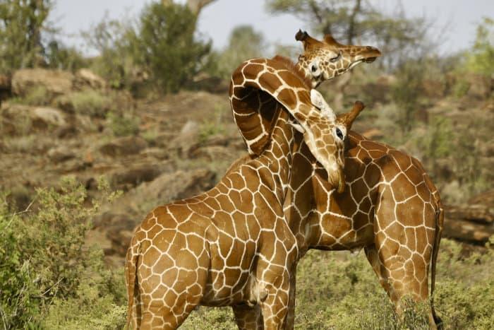 Reticulated giraffes necking, Samburu National Reserve