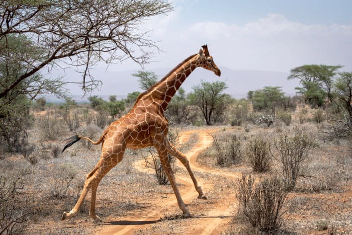 Reticulated giraffe running across a dirt road in Samburu