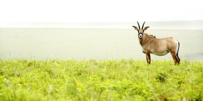 Roan antelope on the Nyika Plateau in Malawi