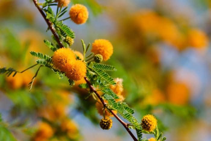 Sweet thorn acacia blooming