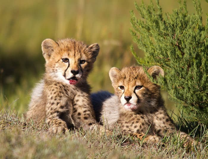 "Two cute cheetah cubs, with fresh blood ""stains"" on their chin"