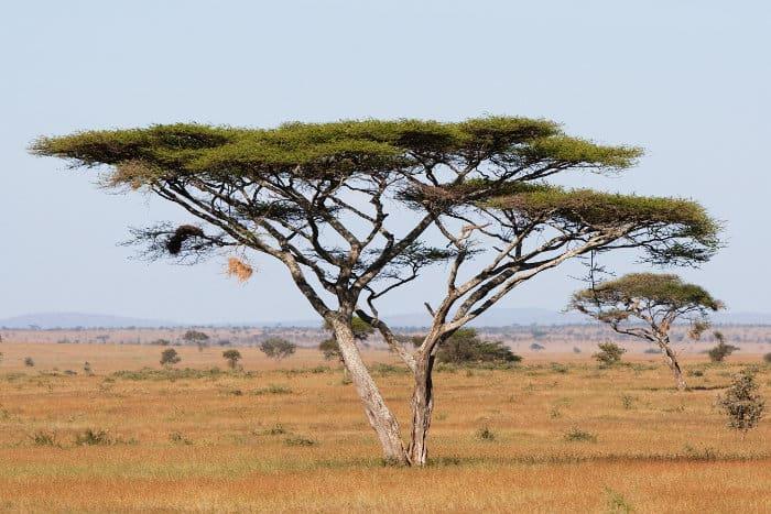 Large umbrella thorn acacia in the Serengeti
