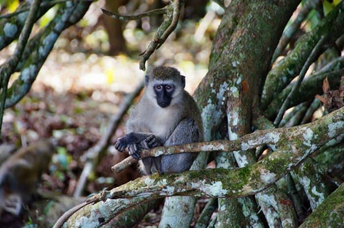 Vervet monkey on Bugala Island, Uganda