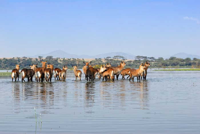 Herd of waterbuck at Lake Naivasha