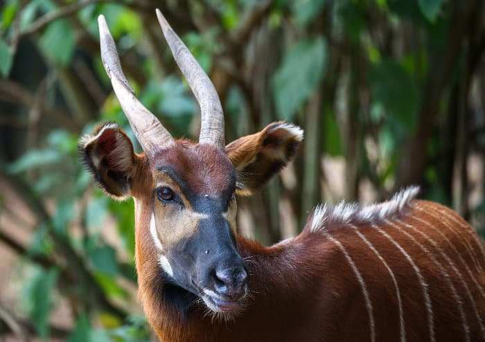 Wild bongo in the bush near Nanyuki, Kenya