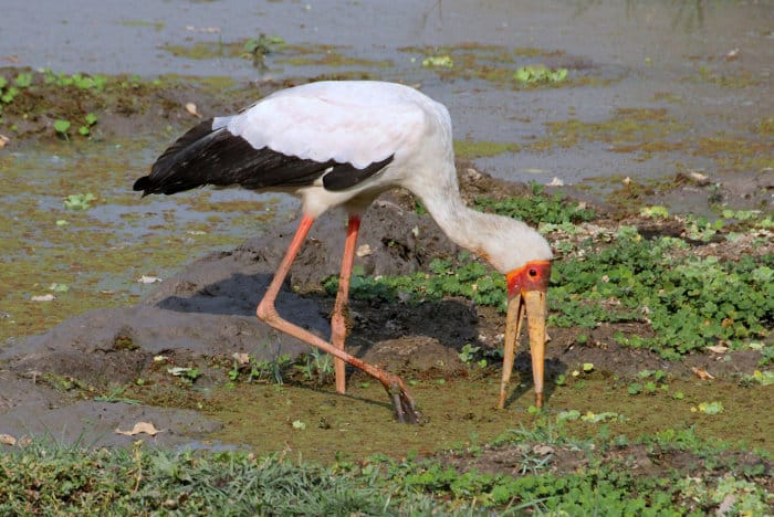 Yellow-billed stork fishing in the Bangweulu Swamps