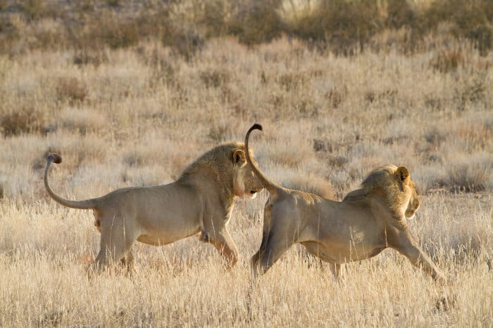 Two young adult lions chasing each other in the grass