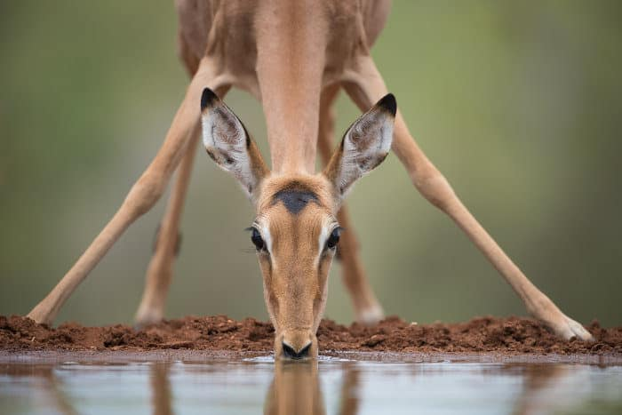 Young female impala drinking from a waterhole, at eye-level with the photographer