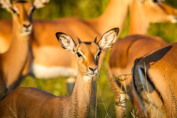 Young male impala in perfect sunlight