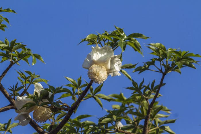 Flowers from a Baobab tree in Kruger National Park, South Africa