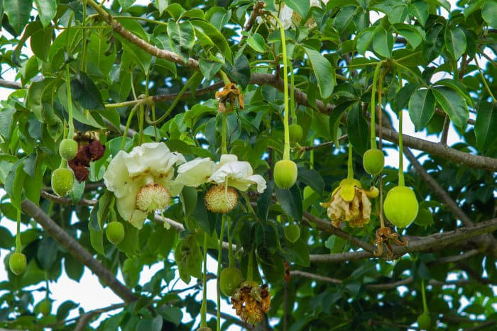 Baobab flowers hanging from the tree