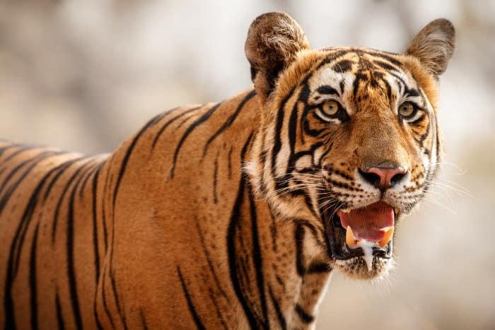 Bengal tiger staring at the camera