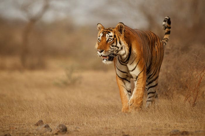 Beautiful male Bengal tiger in stealth mode