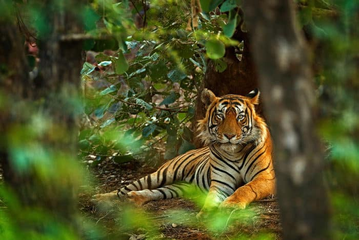 Majestic Bengal tiger in typical jungle habitat