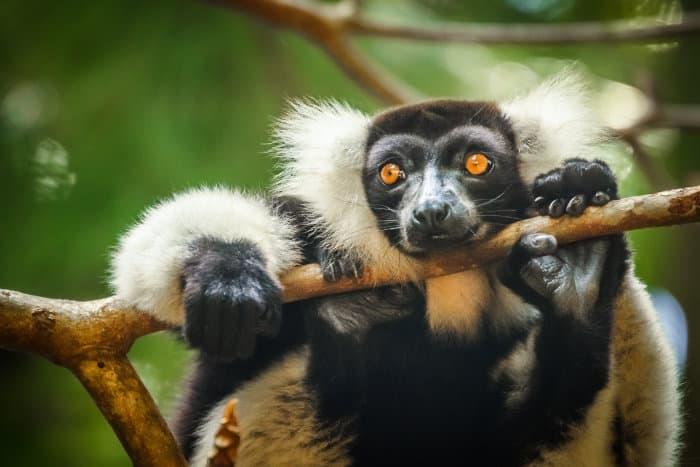 Black-and-white ruffed lemur portrait, in Ivoloina Reserve, Madagascar