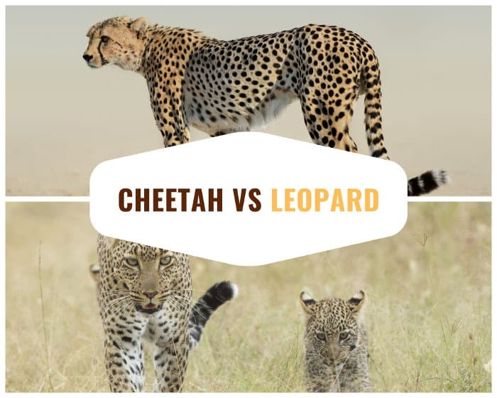 The main differences between a cheetah and a leopard