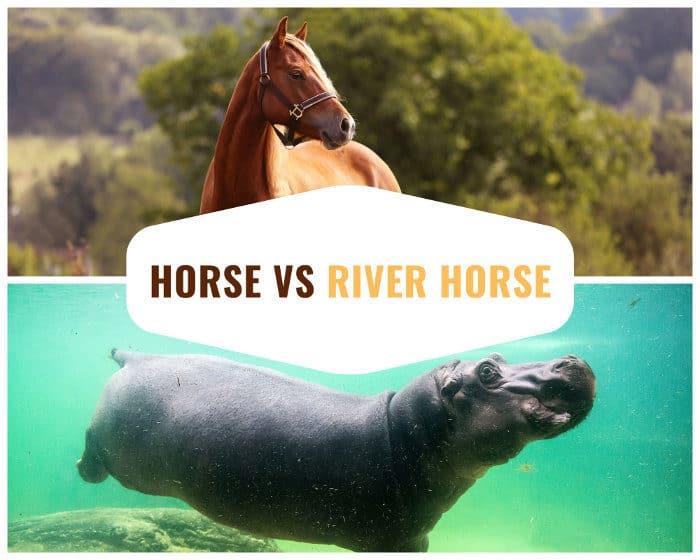 Horse vs river horse