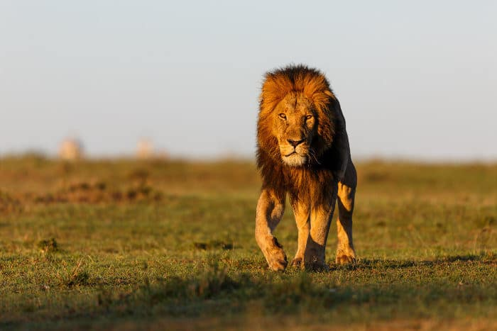 Mohican the male lion in the Masai Mara, Kenya