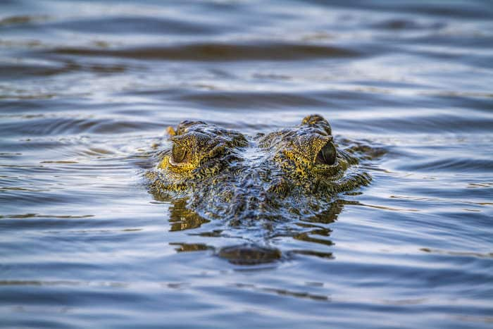 Nile crocodile head close-up, with only eyes and snout poking above the water surface