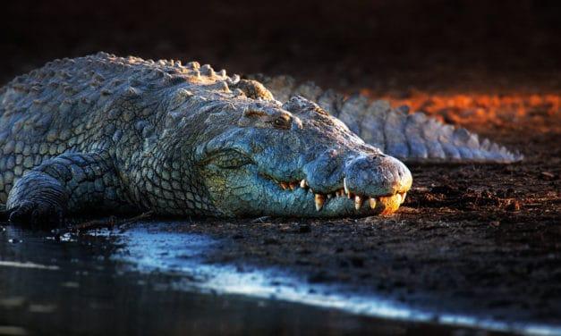 Nile Crocodile – Up close and personal