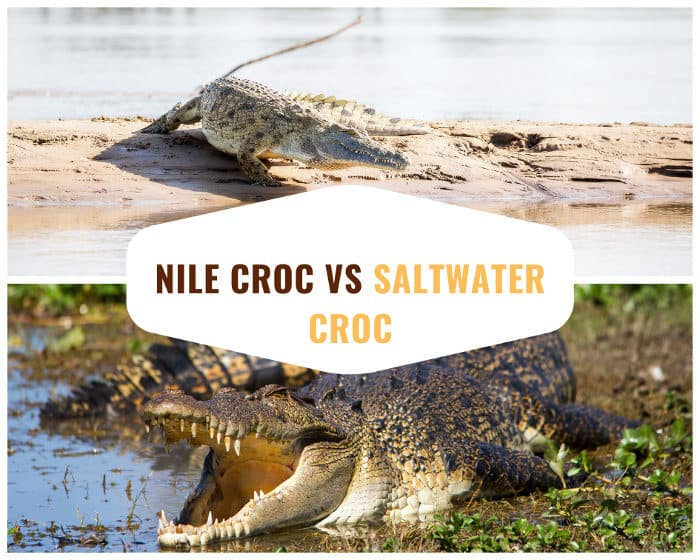 Nile crocodile vs saltwater crocodile