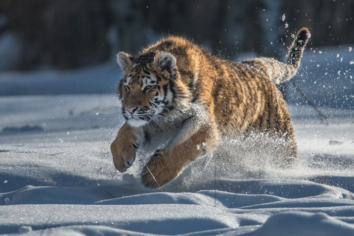 Siberian tiger running in the snow at full speed