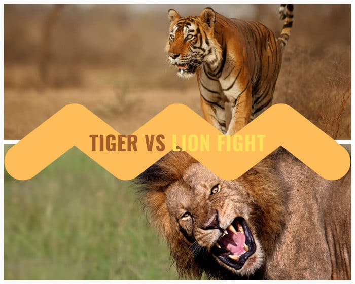 Tiger vs Lion Fight