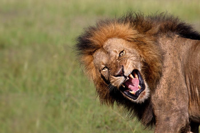 An angry male member of the Olkiombo pride, growling