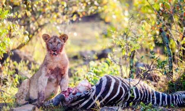 What do lions eat? Meat, flesh & poachers