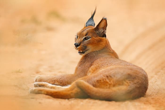Caracal relaxing on a sandy road in Etosha, Namibia