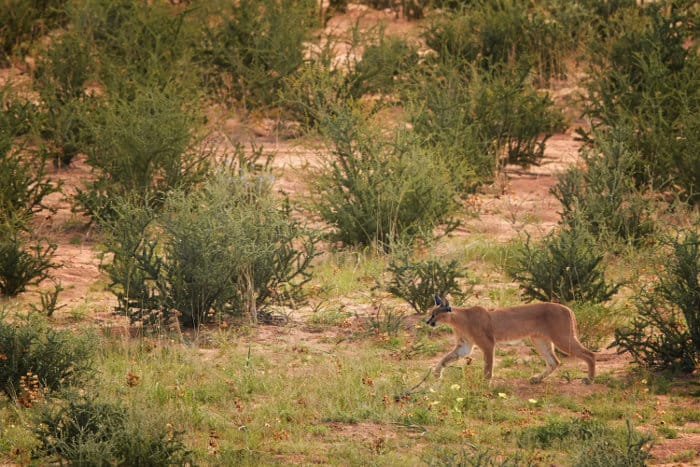 Caracal exploring the wilderness, in Kgalagadi's Transfrontier Park