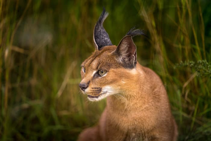 Close-up of a caracal, with its distinctive tufted ears