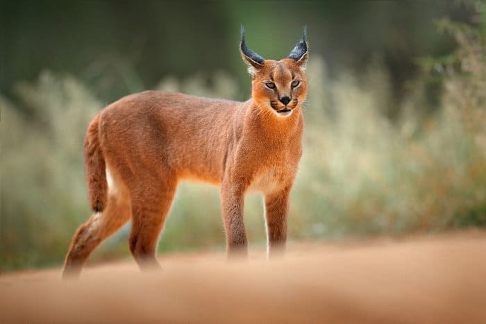 Caracal cat on gravel road