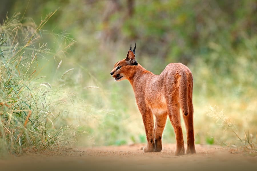 Caracal Cat Facts – 14 remarkable truths about a wild African cat