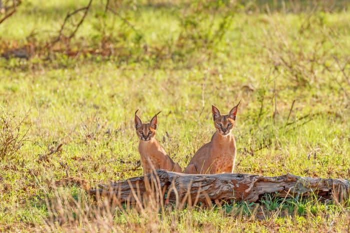 Adult caracal and young staring at the camera from behind a log, in Samburu National Reserve