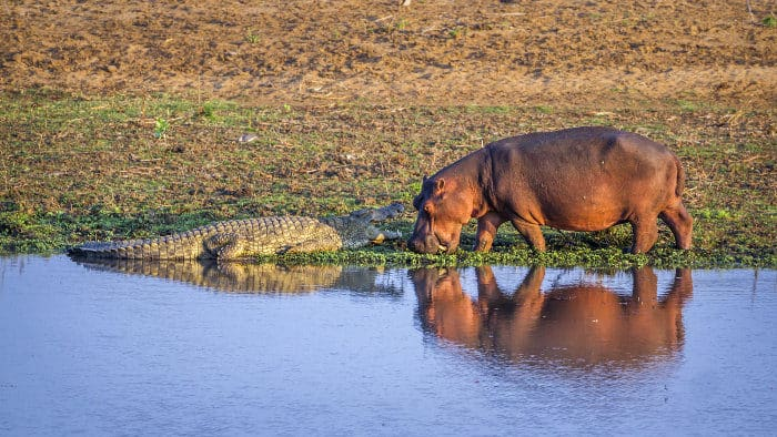This crocodile is about the same length as the hippo
