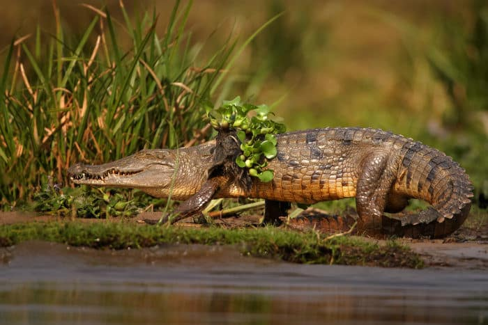Nile crocodile with water hyacinth on its back