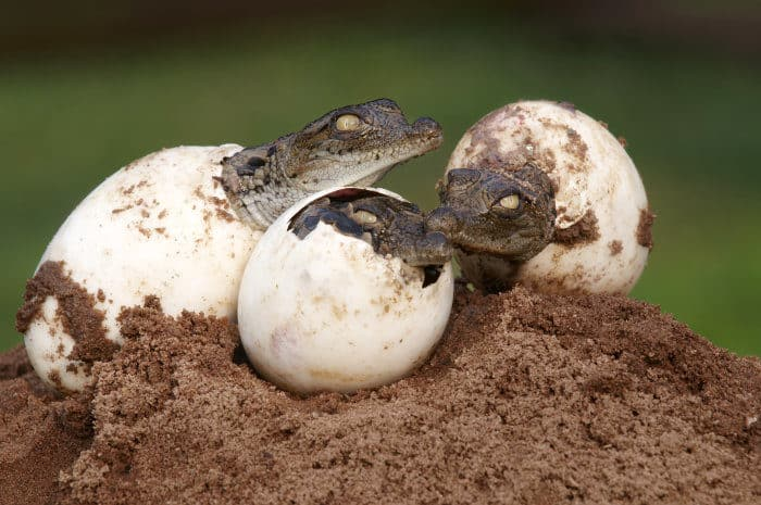 Three Nile crocodiles hatching from their egg
