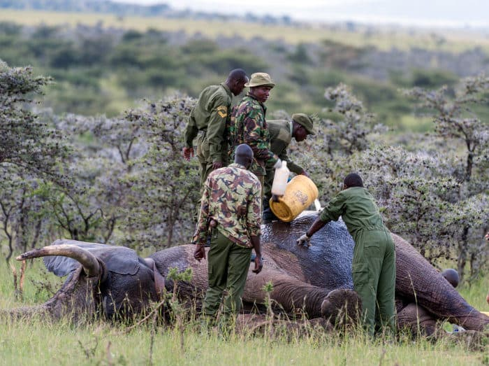 Game rangers in the Masai Mara take care of a wounded elephant