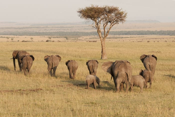 Elephants show us their bums as they venture into the vast plains of the Masai Mara