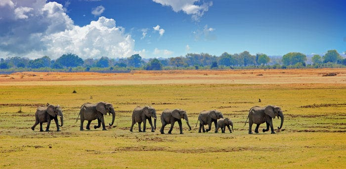 An elephant herd walks across the vast open plains in South Luangwa National Park