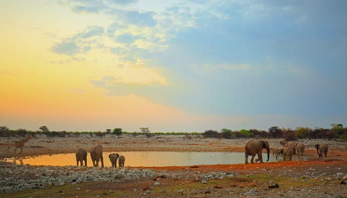 A lone giraffe and some elephants congregate for a sunset drink at the Okaukuejo waterhole