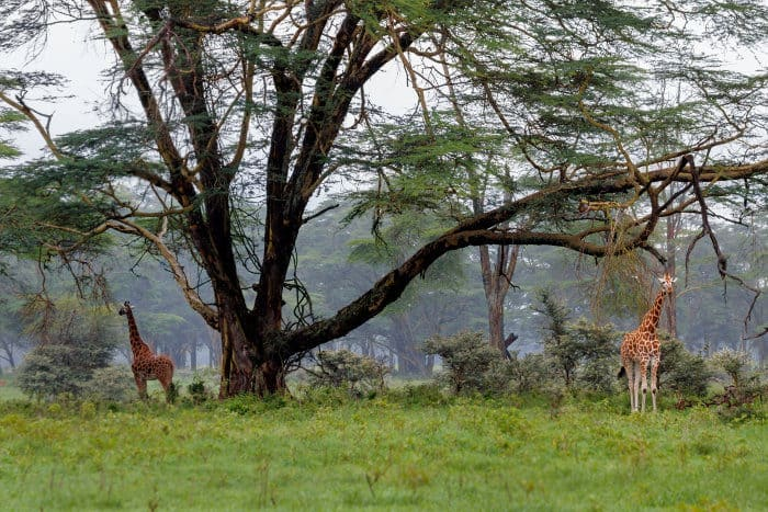 Giraffe under a huge acacia tree, Lake Nakuru