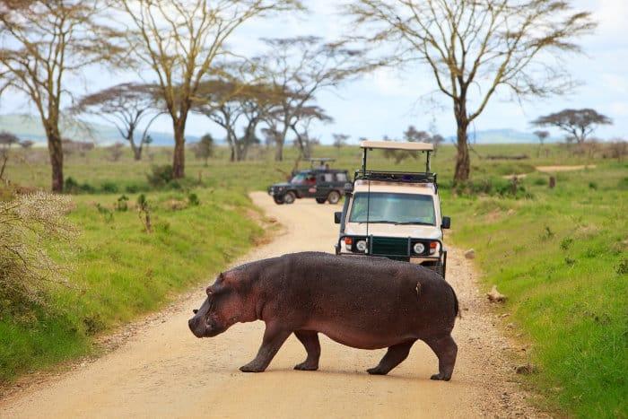 Hippo crossing the road while on a safari in Tanzania