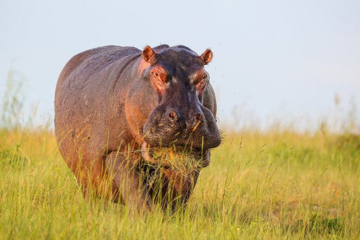 Hippo with grass mouthful, Botswana