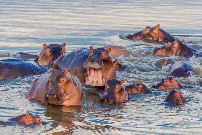 Hippo pod in the Luangwa river, South Luangwa